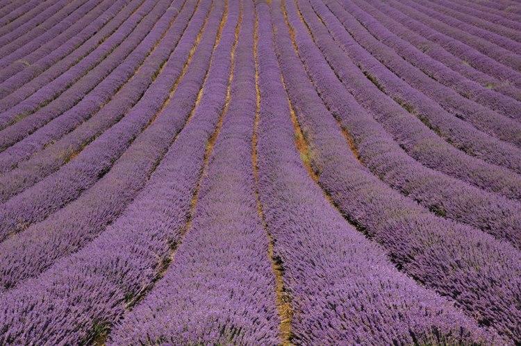 bookings-lavender